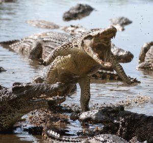 Crocodile needs Wings to be Dragon
