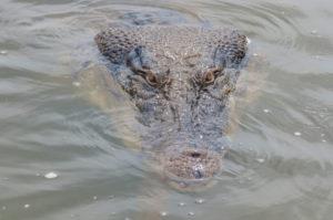 Muddy Water Conceals a Crocodile