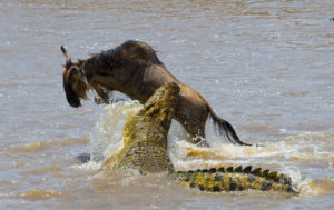 Crocodile attack in muddy water